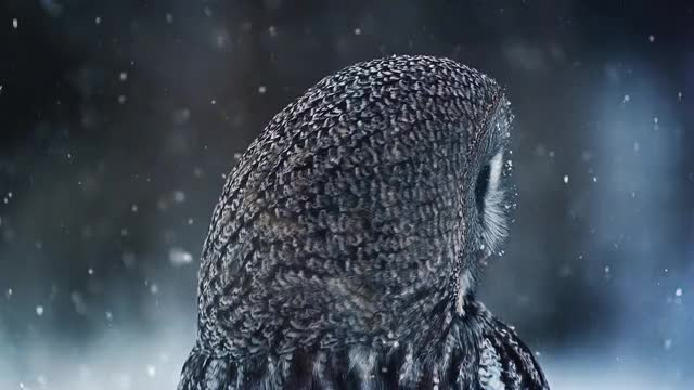 Watch Great Grey Owl 50fps GIF by doom85 (@doom85) on Gfycat. Discover more 50fps, nature, owl, r/superbowl GIFs on Gfycat