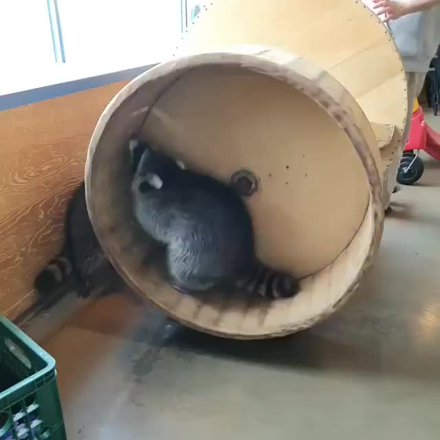 Watch and share Raccoon GIFs and Funny GIFs on Gfycat