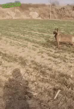 Watch and share Dog Fetches The Impossible GIFs on Gfycat