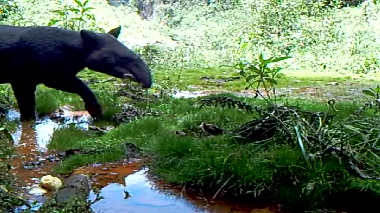 Mountain Tapirs (Tapirus pinchaque) GIFs