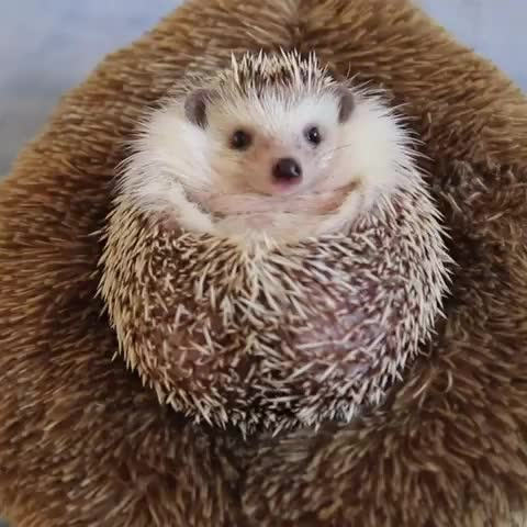 9gag, animaladdicts, animalvibes, apple, cuteanimals, cutepetclub, hedgehog, hedgehogazuki, hedgehogsofinstagram, hedgie, lovelypet, makemehappy, makemesmile, pygmyhedgehog, smileface, worldofcutepets, はりねずみ, はりねずみのあずき, ハリネズミ, 고슴도치, spiky pupper GIFs