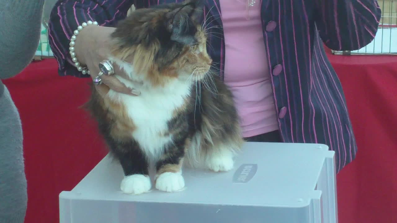 mainecoons, maine coon 3 colour presented GIFs