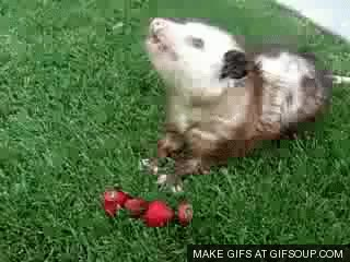 Watch and share Opossums And Possum Gifs GIFs on Gfycat