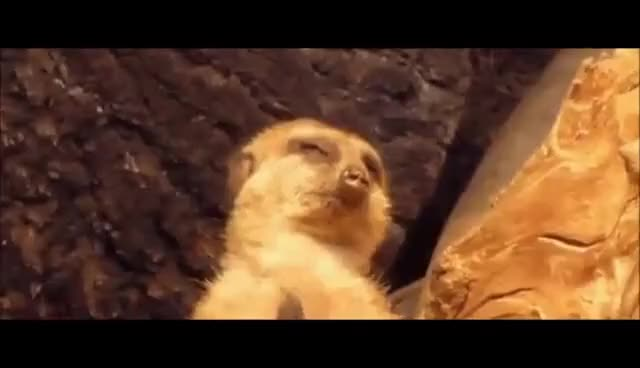 Watch Meerkat falling asleep GIF on Gfycat. Discover more related GIFs on Gfycat