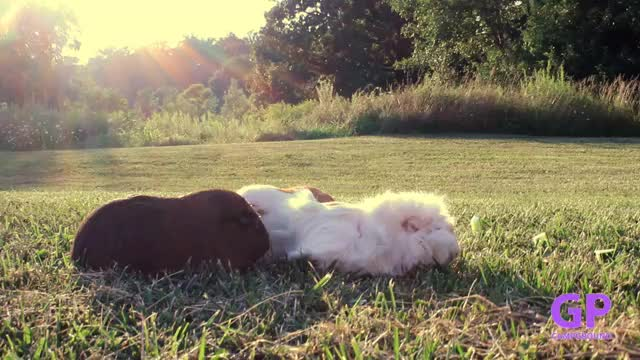 Watch and share Guinea Pigs GIFs by guineapigcampground on Gfycat