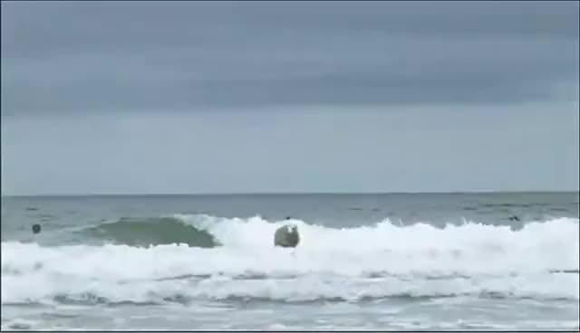 Sheep, surfing, Sheep surfing :) GIFs