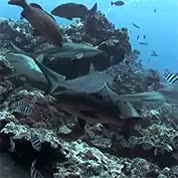Watch and share Wobbegong Shark GIFs and Gray Reef Shark GIFs on Gfycat