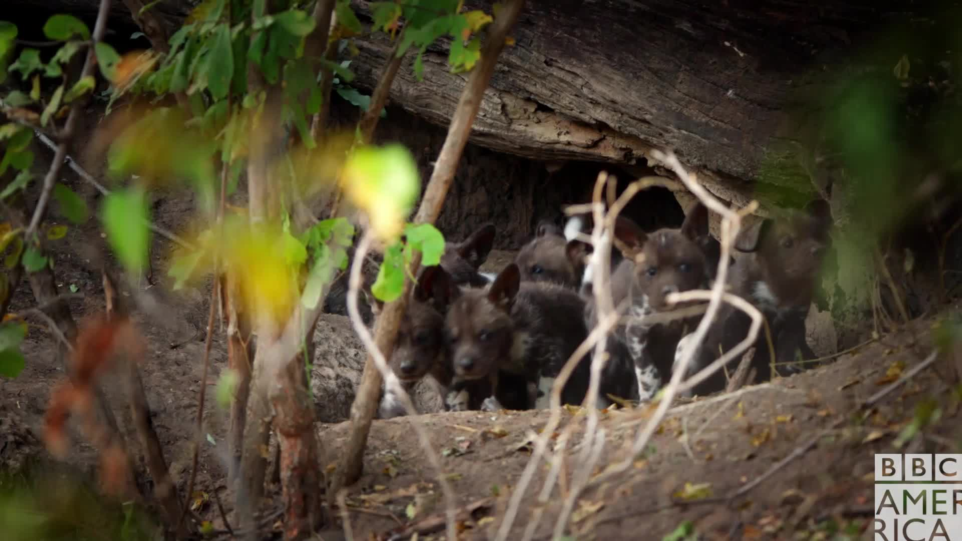 animal, animals, awww, bbc america, bbc america dynasties, bbc america: dynasties, cute, dynasties, painted wolf, painted wolves, puppies, wolf, wolves, Dynasties Seven Wolf Puppies GIFs