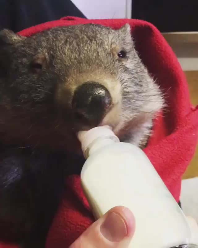 Watch and share Wombat GIFs and Cute GIFs by cakejerry on Gfycat