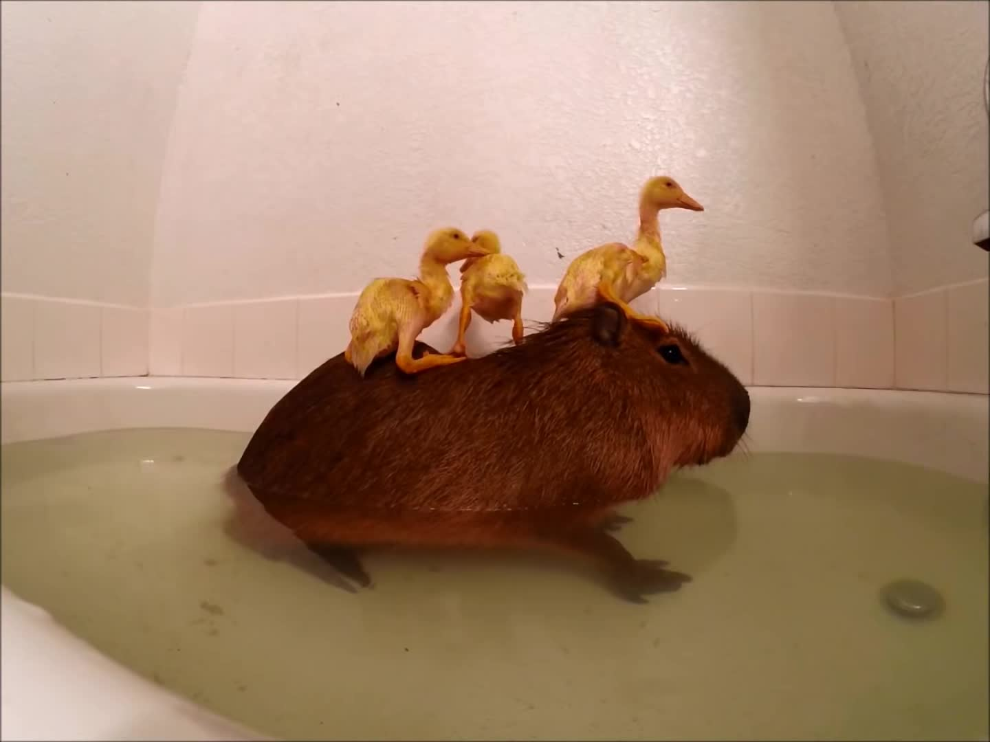 (product, amazing, animals, awesome, bird, birds, capybara, category), cool, duck, duckling, ducks, funny, grey, joejoe, nature, parrot, rubber, the, wildlife, Shake it off GIFs