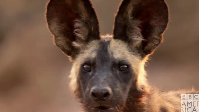 Watch this animal GIF by BBC America (@bbcamerica) on Gfycat. Discover more animal, animals, bbc america, bbc america dynasties, bbc america: dynasties, dynasties, painted wolf, painted wolves, scared, shocked, wolf, wolves GIFs on Gfycat