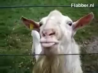 Watch Goat GIF on Gfycat. Discover more related GIFs on Gfycat