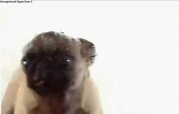 Watch and share Pug GIFs on Gfycat