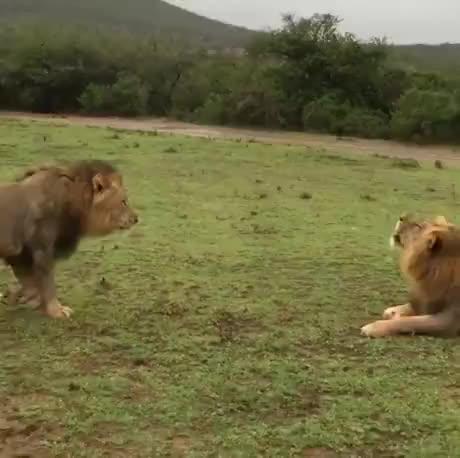 Watch and share Showdown Between Two Fierce Apex Predators GIFs by Gif-vif.com on Gfycat