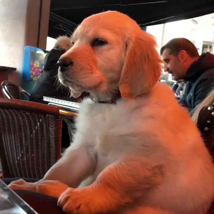 cachorro, dog, goldenretriever, leia torrebrigantia, puppy, puppy trying to stay awake GIFs