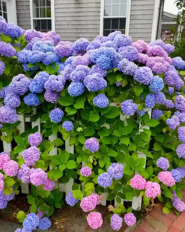 Watch and share The Range Of Colors Of These Hydrangea Flowers GIFs by MyNameGifOreilly on Gfycat