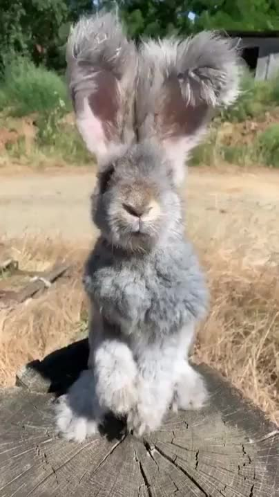 Watch and share Fluffy Bunny GIFs on Gfycat