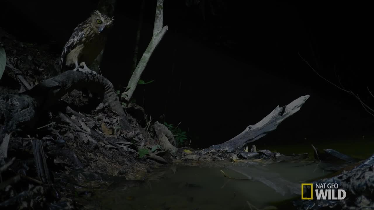 Buffy Fish Owl catches its prey GIFs