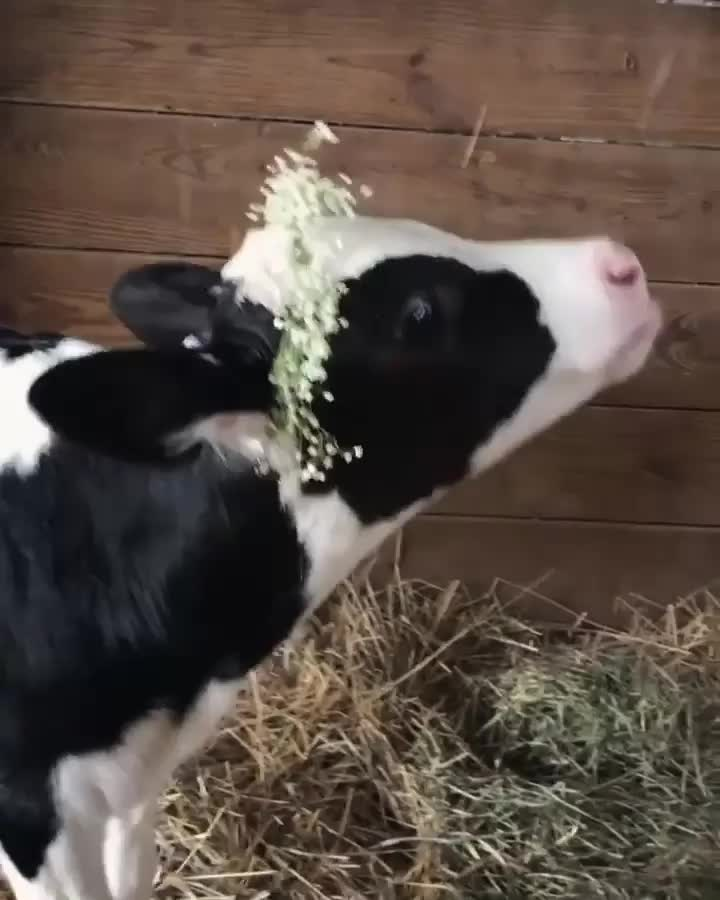 Happy cow with her flower crown GIFs