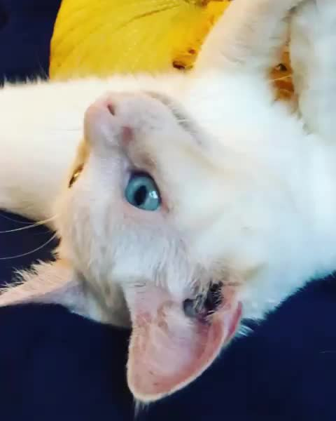 Watch and share Catstagram GIFs and Catlovers GIFs by emmademontford on Gfycat