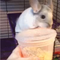 Watch and share Chinchilla GIFs and Adorable GIFs on Gfycat