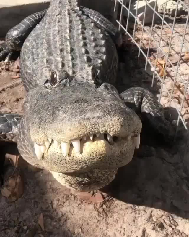 Watch and share Crocodile GIFs on Gfycat