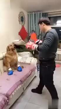 Boxing dog GIFs