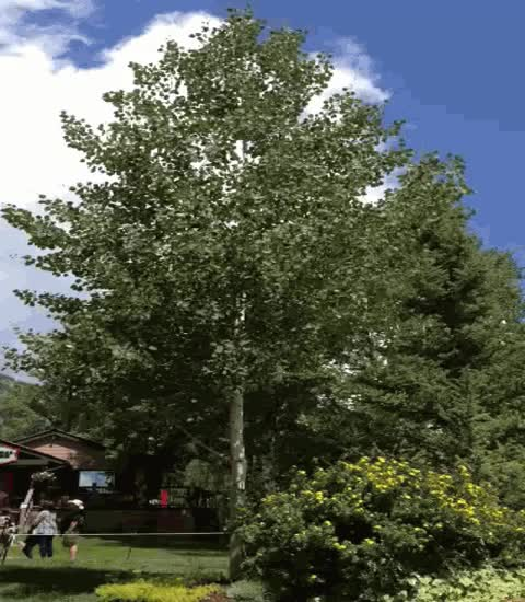 Watch and share Quaking Aspen For Sale GIFs on Gfycat