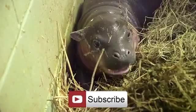 Adorable baby pygmy hippo born GIFs