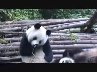 Panda, Sneezing, Sneezing Panda GIFs