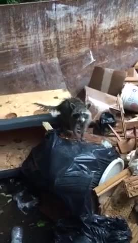 Watch Baby Raccoon fail GIF by PM_ME_STEAM_K3YS (@pmmesteamk3ys) on Gfycat. Discover more dumpster, fail, raccoon GIFs on Gfycat
