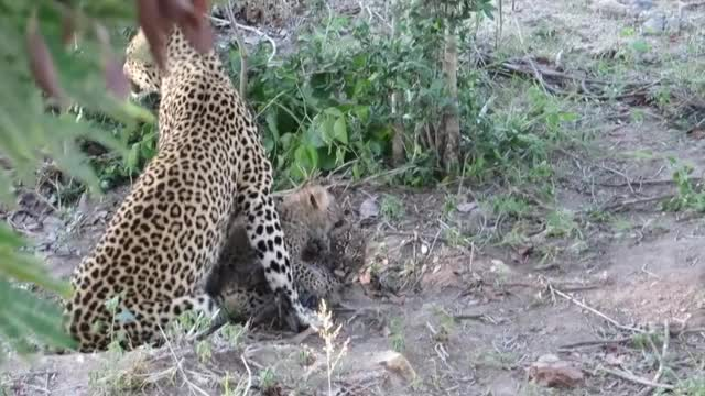 Watch and share Leopard Cubs Being Adorable! GIFs by Pardusco on Gfycat