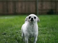 Watch and share Chihuahua GIFs on Gfycat