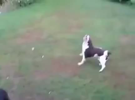 Watch and share Dog Fails To Catch Ball GIFs on Gfycat