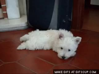 Watch and share Westie GIFs on Gfycat