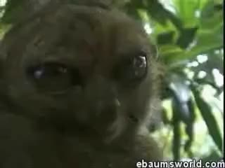 Watch and share The Dramatic Lemur Original GIFs on Gfycat