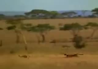 Watch and share Man Saves Gazelle From Cheetah GIFs on Gfycat