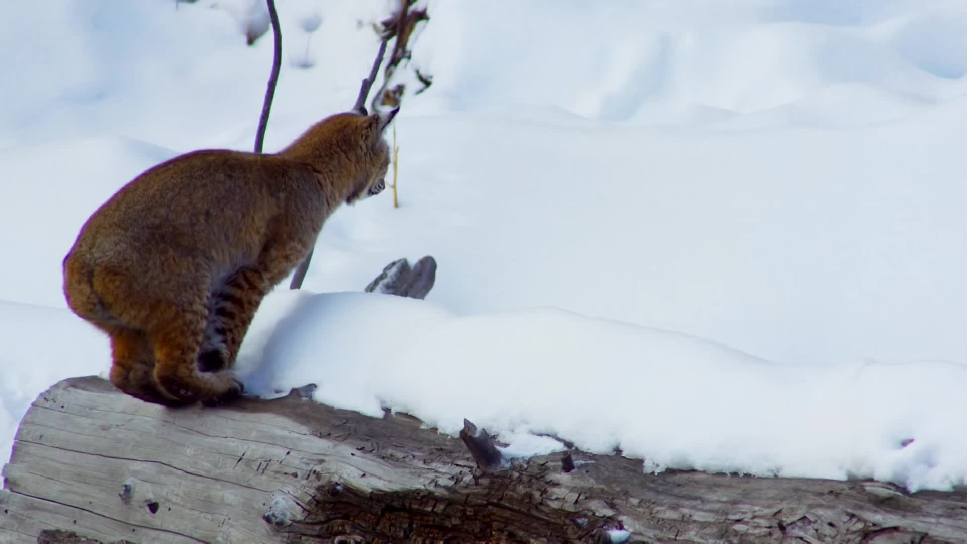 Bottle Flipper, People & Blogs, bobcat, faceplant, nature, slow motion, Faceplanting Bobcat | Planet Earth II GIFs