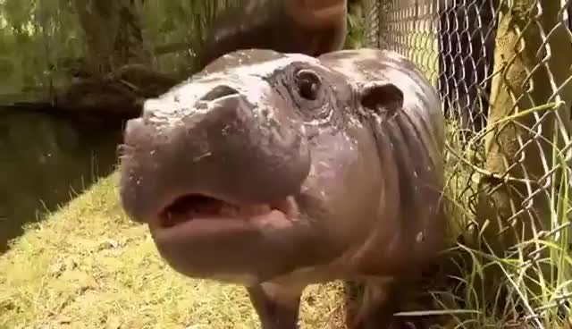hippo, hippopotamus, Always finish with an ear wiggle - Baby Hippo GIFs