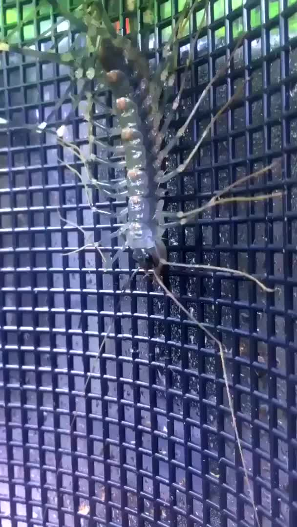 Watch and share House Centipede Molting GIFs by Mahmoud M. Mahdali on Gfycat