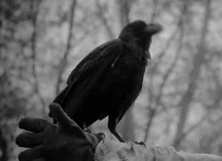 Watch and share Crows GIFs on Gfycat