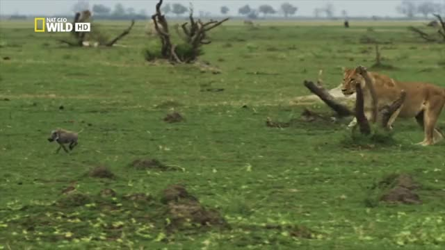 Watch and share Lioness Chasing A Warthog Piglet GIFs by Pardusco on Gfycat