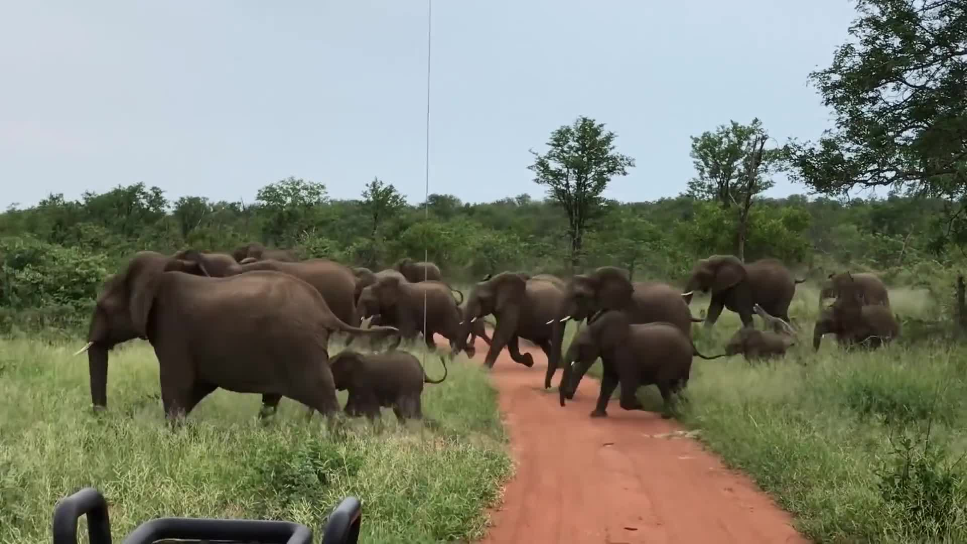 africa, battle of kruger, elephant, elephant charge, elephant stampede, elephants, elephants attack car, elephants stampede car, kruger, kruger attack, kruger national park, lions, national, park, pmmesteamk3ys, stampede, terrifying, travel & events, trent holmes, wild elephants, Terrifying Elephant Stampede / Charge  in Kruger National Park GIFs
