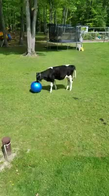 Watch and share Cow Has A Ball GIFs on Gfycat