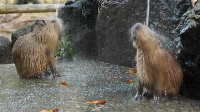 Watch and share Capybaras GIFs and Animals GIFs on Gfycat