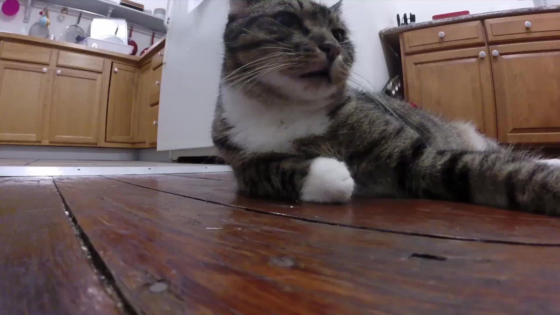 blep, cat, funny, Toby Blep GIFs