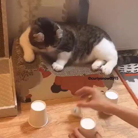 AnimalsBeingGeniuses, likeus, Cat plays the three-cup game (reddit) GIFs