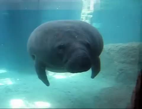 Watch and share Manatee GIFs and Smash GIFs on Gfycat