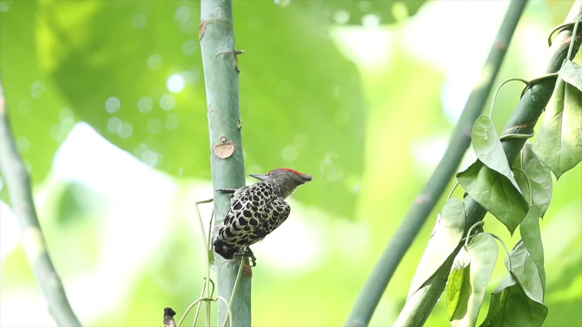 grey-and-buff woodpecker GIFs