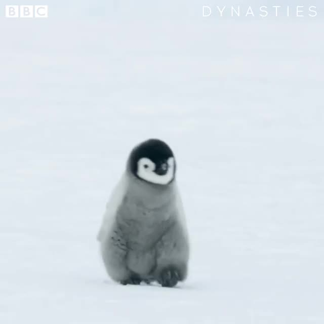 Dynasties, baby, babyanimals, bbcearth, bird, birdlovers, birdsofinstagram, cute, cuteanimals, dynasties, penguin, penguins, Guess who's back, back again. Penguin's back. Tell a friend 🐧 America! #Dynasties emperor is this Saturday on @bbcamerica at 9pm EST . . . GIFs